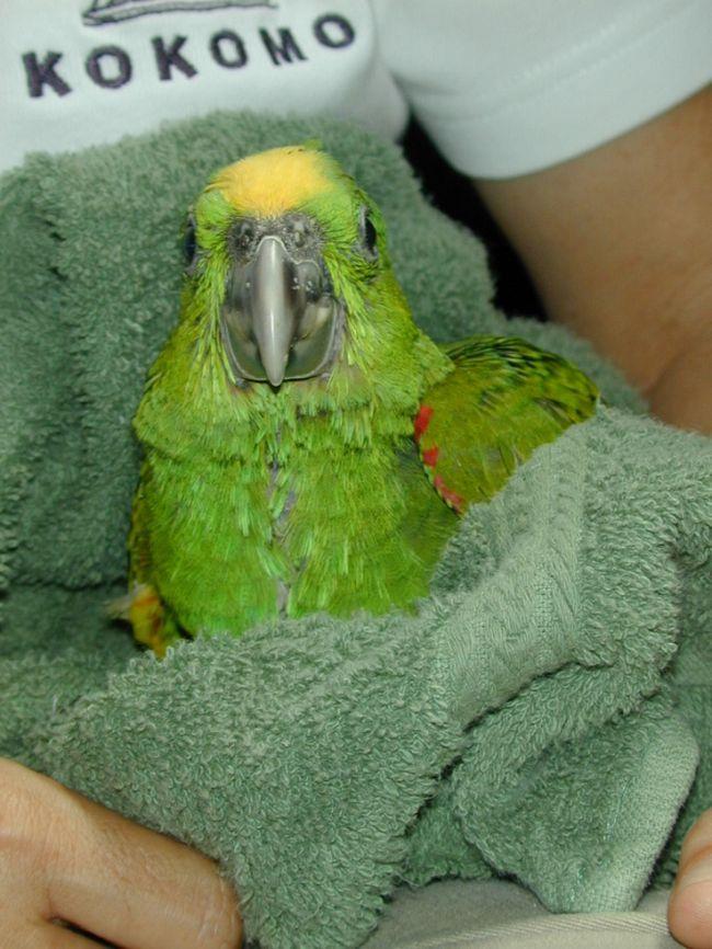 После купания аккуратно промокните своего питомца мягким сухим полотенцем