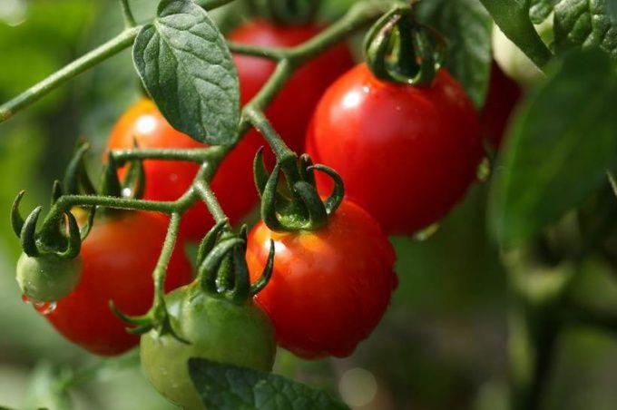 Забота о помидорах начинается с подготовки семян