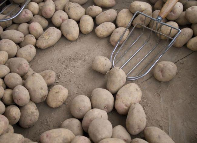 Почему после подмораживания картофель сладкий