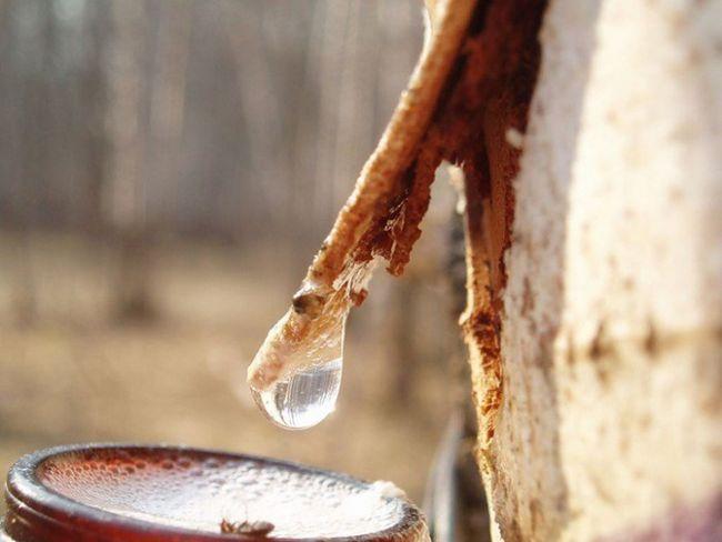 Почему сок березы весной сладкий